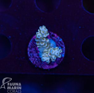 US Style Primefrags® Acropora tenuis light blue  (Filter- + Daylight-Shot picture!) – image 1