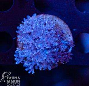 FMC  Xenia double (Filter- + Daylight-Shot picture!) – image 2