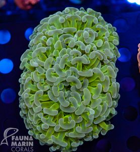 US Style Primefrags® Euphyllia ancora super green XL (Filter + Daylight-Shot) – Bild 2