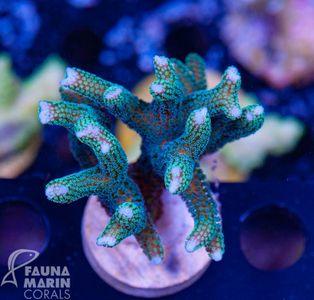 FMC Seriatopora bicolor  V  (Daylight- + Filtershot picture!) – image 1
