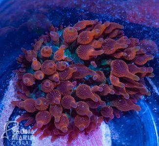 US Style Primefrags® Entacmaea Quadricolor Sunburst  V  (Filter- + Daylight-Shot picture!) – Bild 3