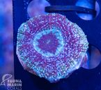 FMC Acanthastrea bowerbanki   V   (Filter- + Daylight-Shot picture!)