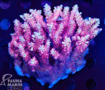 FMC Acropora strawberry shortcake colony  (Filter- + Daylight-Shot picture!) – Bild 1