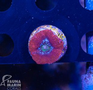 FMC Acanthastrea   V   (Filter- + Daylight-Shot picture!) – Bild 2