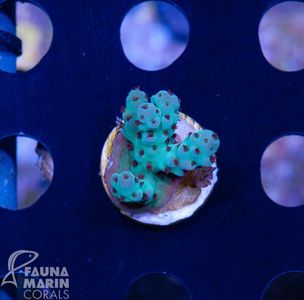 US Style Primefrags® Acropora sarmentosa  V  (Filter- and Daylight-Shot picture!) – image 3