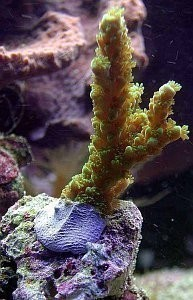 Ultra Coral Kit black coralglue – image 3