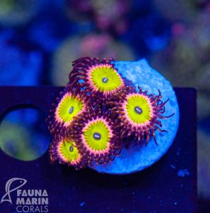 FMC Zoanthus candy apple pink  V  (Filter- + Daylight-Shot picture!) – Bild 1