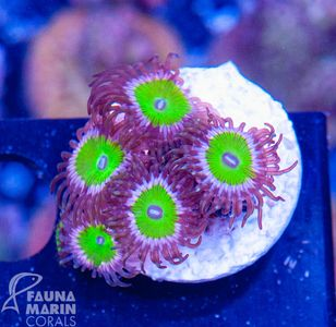FMC Zoanthus candy apple pink  V  (Filter- + Daylight-Shot picture!) – Bild 2