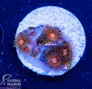 FMC Zoanthus rainbow incineator  V  (Filter- + Daylight-Shot picture!) – Bild 1
