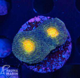 FMC  Acanthastrea echinata   V   (Filter- + Daylight-Shot picture!) – Bild 1