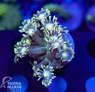 FMC  Goniopora    V   (Filter- Daylight-Shot!) – image 1