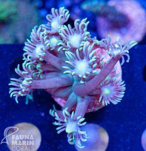 FMC  Goniopora    V   (Filter- Daylight-Shot!) – Bild 2