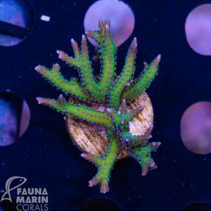 FMC Seriatopora hystrix Green  V   (Daylight + Filtershot picture!) – Bild 1