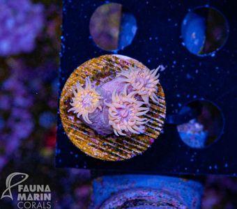 FMC Tubastraea yellow  V