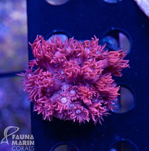 FMC  Goniopora  pinky  V  (Filter- + Daylight-Shot picture!) – Bild 2
