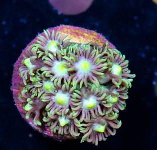 FMC Goniopora Yellow Center (Filter- + Daylight-Shot picture!)