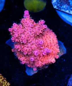 FMC Acropora Nanofrag Aussi Pink Table (Filter- + Daylight-Shot picture!) – image 1