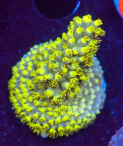 US Style Primefrags® Acropora latistella Aussi  (Filter- + Daylight-Shot picture!) – image 1