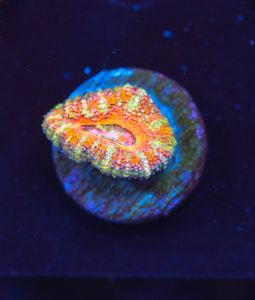 FMC Acanthastrea Pink (Filter- + Daylight-Shot picture!) – image 2
