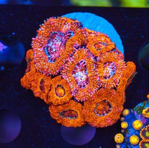 FMC Acanthastrea Glitter (Filter- + Daylight-Shot picture!) – image 1