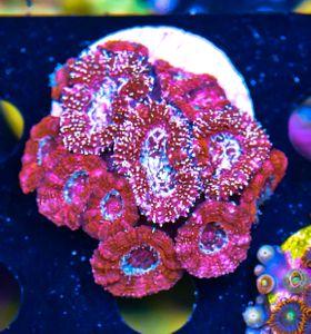 FMC Acanthastrea Glitter (Filter- + Daylight-Shot picture!) – image 2