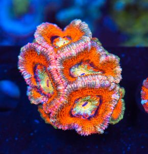 FMC Acanthastrea Twotone (Filter- + Daylight-Shot picture!) – image 2