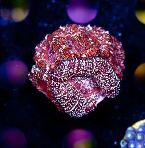 FMC Acanthastrea Wine Glitter (Filter- + Daylight-Shot picture!) – image 1