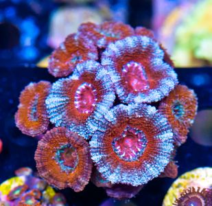FMC Acanthastrea Red/White (Filter- + Daylight-Shot picture!) – image 2