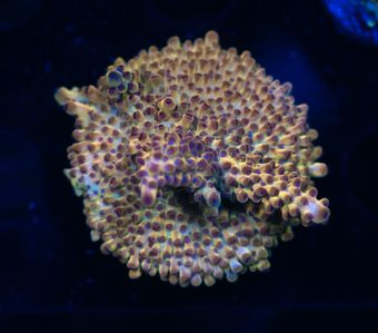 FMC Acropora Blue Polyps (Filter- + Daylight-Shot picture!) – image 1
