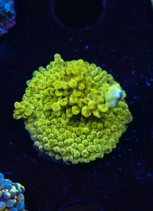 FMC Acropora Green (Filter- + Daylight-Shot picture!) – image 1