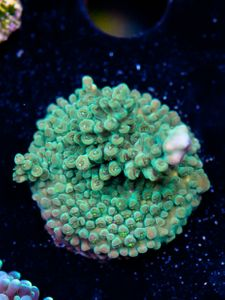 FMC Acropora Green (Filter- + Daylight-Shot picture!) – image 2
