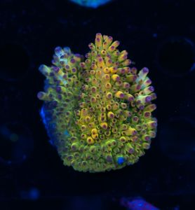 FMC Acropora microclados Purple Tips  (Filter- + Daylight-Shot picture!) – image 1