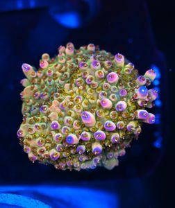 FMC Acropora microclados  (Filter- + Daylight-Shot picture!) – image 1