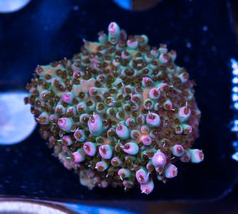 FMC Acropora microclados  (Filter- + Daylight-Shot picture!) – image 2