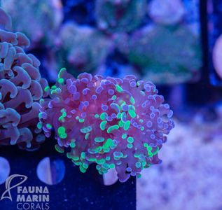 FMC Euphyllia green and silver tips V (Filter + Daylight-Shot) – image 3