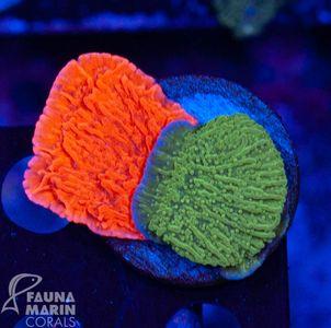 FMC Montipora red+green double V (Filter- + Daylight-Shot picture!) – Bild 2