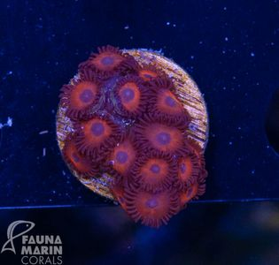 FMC Zoanthus Kedd red   V  (Filter- + Daylight-Shot picture!)  – Bild 2