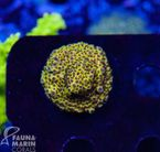 US Style Primefrags® Acropora nasuta purple polyps (Filter- + Daylight-Shot picture!) 001