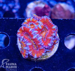 FMC Acanthastrea rainbow (Filter- + Daylight-Shot picture!) – Bild 2