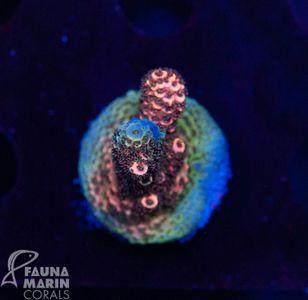 FMC Acropora Millepora  (Filter + Daylight-Shot picture!) – Bild 1
