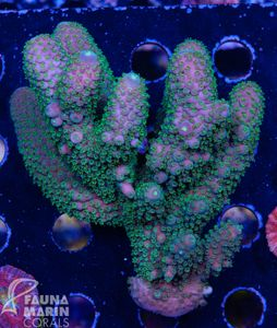FMC Acropora humilis Colony