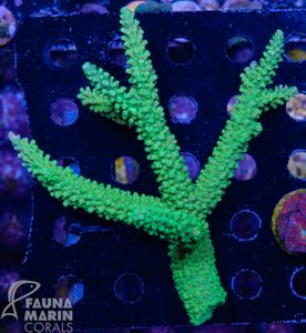 FMC Acropora staghorn green Colony