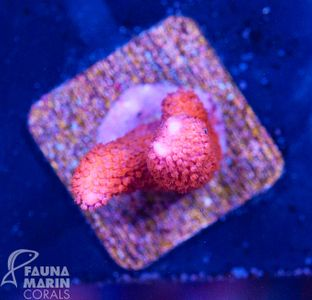 FMC Montipora digitata ultra red V (Filter- + Daylight-Shot picture!) – image 2