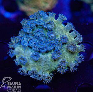 FMC Turbinaria blue-green Indo  (Filter- + Daylight-Shot picture!) – Bild 1