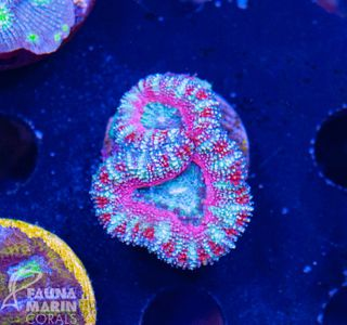 US Style Primefrags® Acanthastrea pink rim  (Filter- + Daylight-Shot picture!) – Bild 2