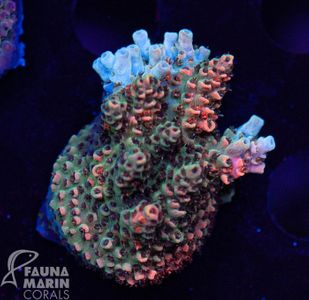 US Style Primefrags® Acropora hyacinthus INDO   (Filter- + Daylight-Shot picture!) – Bild 1