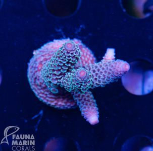 FMC Acropora spathulata blue tips  (Filter + Daylight-Shot picture!) – Bild 2