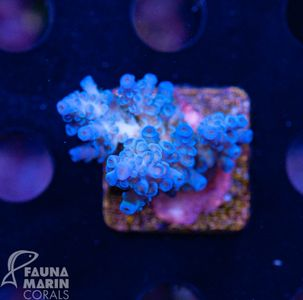 FMC Acropora Tenuis Light Blue  (Filter + Daylight-Shot picture!) – Bild 1