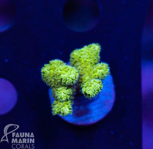 FMC Pocillopora ultra hairy  V (Filter- + Daylight-Shot!) – image 1
