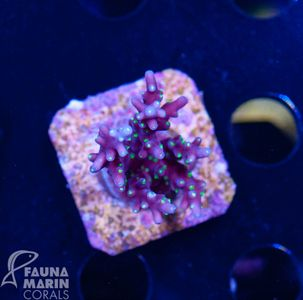US Style Primefrags® Acropora carduus purple Dragon  (Filter- + Daylight-Shot picture!) – Bild 2